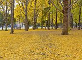 image of century plant  - Ginkgo Trees - JPG