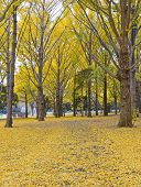 Ginkgo Trees in golden autumn color