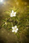 White Flowers Apple Trees