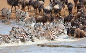 Herd Of Zebras (african Equids) And Blue Wildebeest (connochaetes Taurinus)