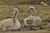 Chicks Mute Swan Resting On The Beach. Lake Mazury, Poland.