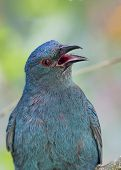 picture of bluebird  - Asian Fairy-Bluebird spotted in Kuala Lumpur, Malaysia ** Note: Visible grain at 100%, best at smaller sizes - JPG