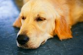 Lost Homeless Hungry Golden Labrador Retriever Dog ??sleeping On Cold Floor