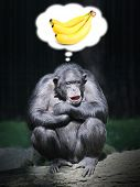 Funny chimpanzee dreaming.