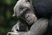 Chimpanzee Does Crazy.