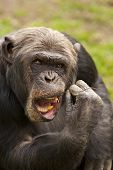 Chimpanzee With Stick In His Mouth.