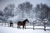 Saddle Horses Looking Over Corral Fence Winter Rural Scene