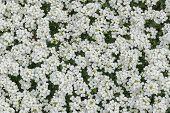 Carpet Of White Flowers Veronica, Close-up