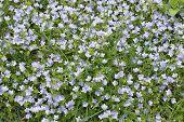 Carpet Of Blue Flowers Veronica, Close-up