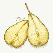 Realistic hand drawn vector pair of pears. No meshes, no gradients. Hand-drawn graphic vector eps8, color version