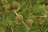 larch cones branch background