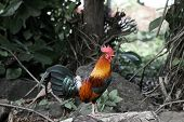 Rooster in Jungle