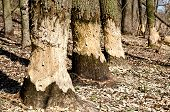 pic of beaver  - Three trees in woods gnawed by beavers close - JPG