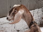 pic of nubian  - Nubian brown goat standing on white snow - JPG
