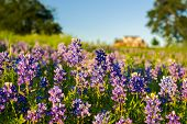stock photo of bluebonnets  - Texas bluebonnets in warm late afternoon light - JPG