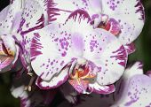image of moth  - Moth Orchid - Phalaenopsis Heavily marked white flower - JPG