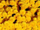 Yellow Mums In Autumn