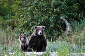 pic of grizzly bear  - Grizzly Bear mother with cub - JPG