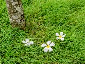 stock photo of plumeria flower  - Leelavadee Plumeria flower dropped from tree on green grass field - JPG