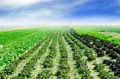 stock photo of husbandry  - Cultivated land with cabbage - JPG