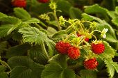pic of strawberry plant  - Wild strawberry plant with green leafs and ripe red fruit  - JPG