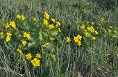 picture of marshes  - Marsh Marigold or Kingcup - Caltha palustris In overgrown ditch - JPG