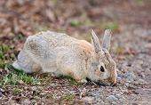 stock photo of nibbling  - A wild Bush Rabbit nibbling on the first spring greenery - JPG