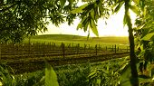 foto of farm landscape  - sunrise over vineyard framed with green trees - JPG