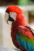 pic of green-winged macaw  - Red-and-green Macaw in Tambopata research centre, Peru