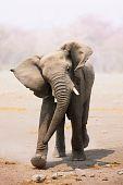 Elephant Bull Charging