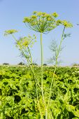 picture of greenery  - Flowering dill twig against the sky and greenery - JPG
