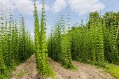 image of brew  - Industrial plantations of hops for the needs of the brewing industry - JPG