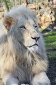 picture of african lion  - White South African male lion  - JPG