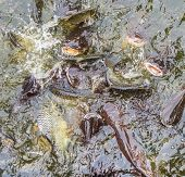 picture of hypophthalmus  - image of feeding many of Striped catfish  - JPG