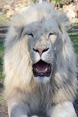 stock photo of african lion  - White South African male lion  - JPG