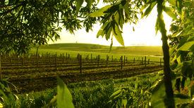 picture of farm landscape  - sunrise over vineyard framed with green trees - JPG