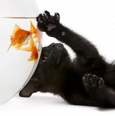 Close-up Of Black Kitten Looking Up At Goldfish, Carassius Auratus, Swimming In Fish Bowl In Front O