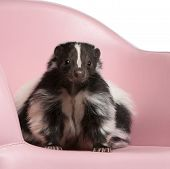 Striped Skunk, Mephitis Mephitis, 5 Years Old, Sitting On Pink Armchair In Front Of White Background
