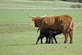 Brown Highland Cow feeding Black Calf