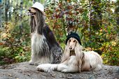 Portrait Of Two Afghan Greyhounds, Beautiful, Dog Show Appearance. poster