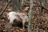 A domestic goat alone in the forest poster