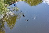 Wild Ducks Swim In The River poster