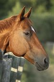 picture of horse head  - Portrait of horse - JPG