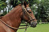 Retrato de caballo peruano
