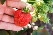 Strawberry Ripens In The Garden. The Red Strawberry Is Growing And Ripening. Strawberry Branch With poster