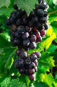 Постер, плакат: Healthy Fruits Red Wine Grapes Riping In The Vineyard Dark Grapes Blue Grapeswine Grapes Bunch