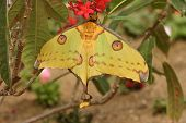 Madagascan Moon Moth With Curly Tails