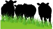 cows in field silhouette