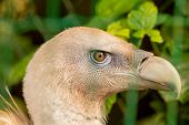 Like Other Vultures, It Is A Scavenger, Feeding Mostly From Carcasses Of Dead Animals Which It Finds poster