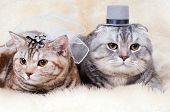 image of scottish-fold  - fluffy beautiful adult cat wedding couple breed scottish - JPG